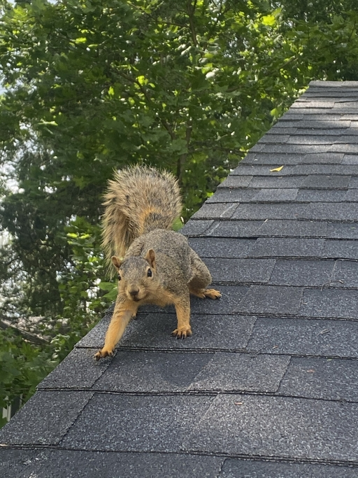 How To Prevent Squirrels In The Attic