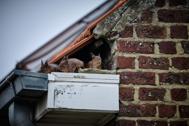 How To Get Rid Of Squirrels In The Attic Humanely