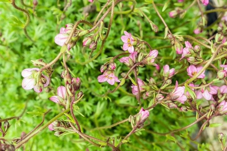 Meadow Saxifrage (Saxifraga granulata)