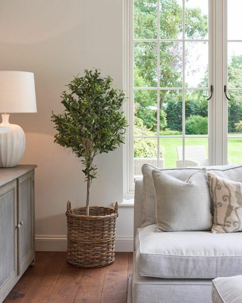 Indoor Olive Tree: Can It Happen?