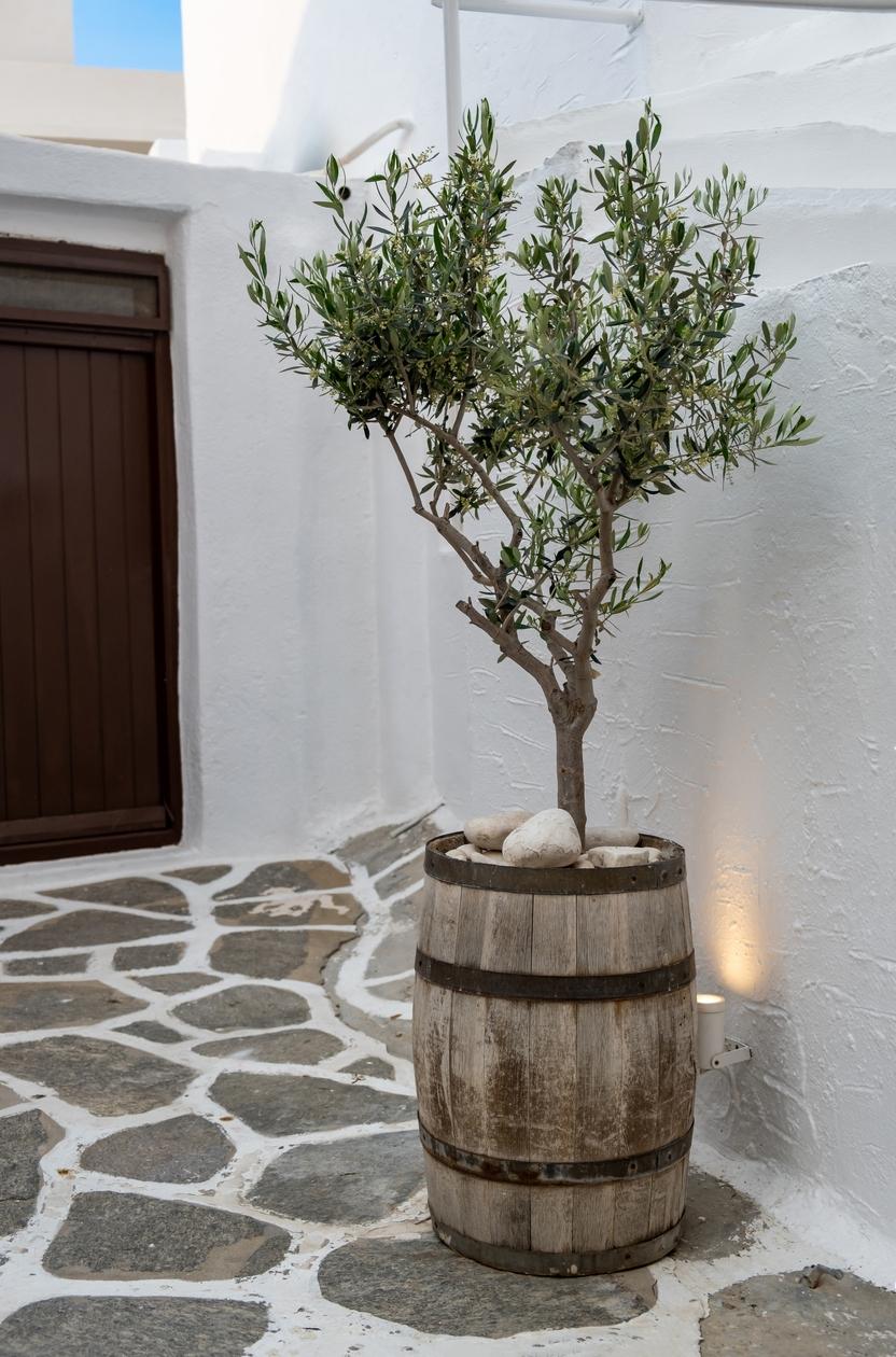 indoor olive tree