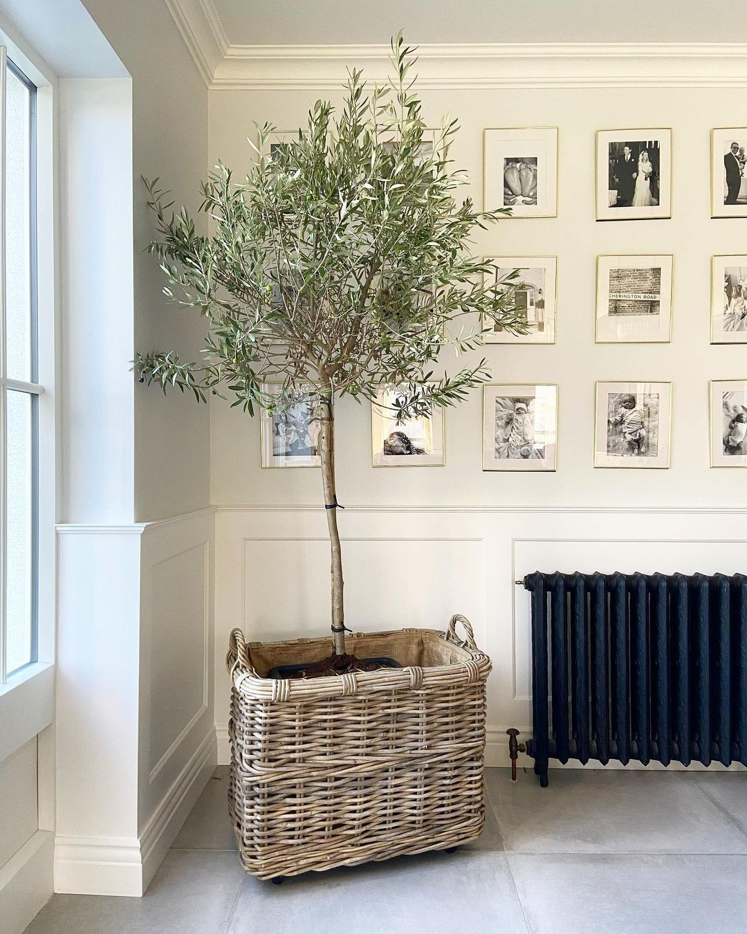 Watering An Indoor Olive Tree